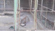 el complejo cipoleno la chacra quiere adoptar al puma pancho