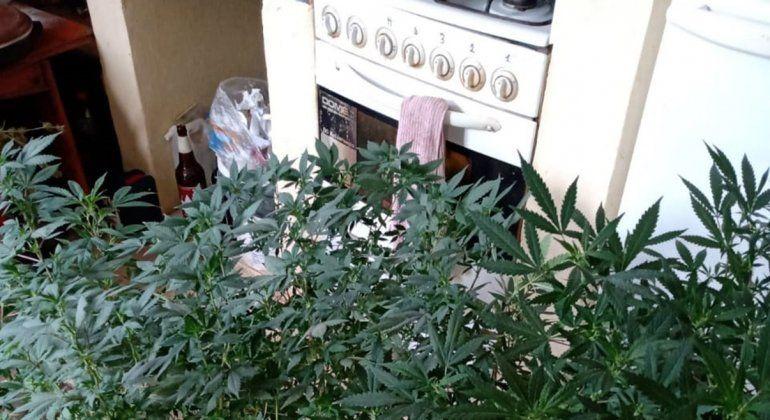 Fueron por un conflicto familiar y encontraron una plantación de marihuana