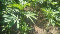 En el patio de la vivienda había varias plantas de marihuana.