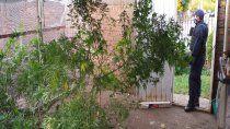 hallaron plantas de marihuana del tamano de un arbol