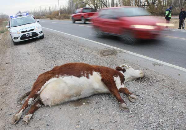 Preocupa la cantidad de animales sueltos en las rutas