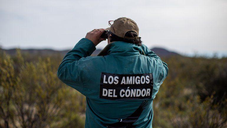 Liberaron con éxito a siete crías de cóndores en Río Negro