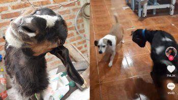 Vilma, la cabra neuquina que revolucionó Tik Tok