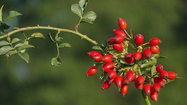 La rosa mosqueta podría ser el biocombustible del futuro