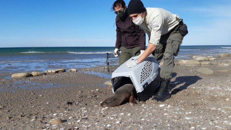 Rescataron y liberaron a un lobo marino y un pingüino en San Antonio Oeste