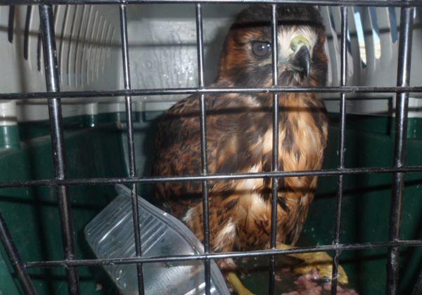 Viajaba con un águila mora en su auto