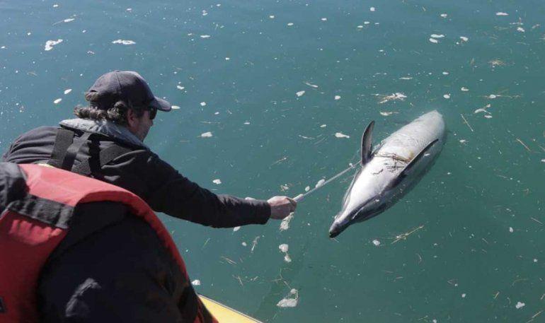 Siguen apareciendo delfines muertos: ya son cerca de 35