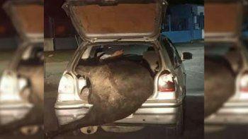 volco un camion y cargaron una vaca en el baul del auto