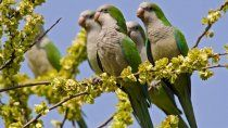 guerra contra la invasion de cotorras: autorizan a voltear los nidos