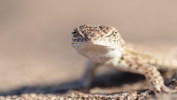 cipolena del conicet advierte sobre el riesgo de extincion de una lagartija