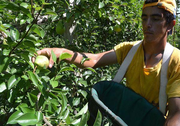 Nación depositó 37 millones de pesos para más de 900 productores de peras y manzanas