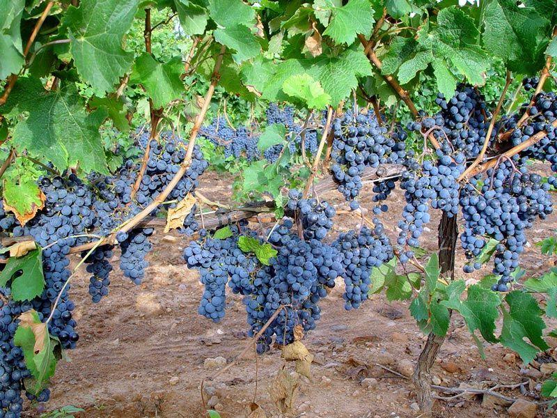 Río Negro recibirá aporte económico para la vitivinicultura